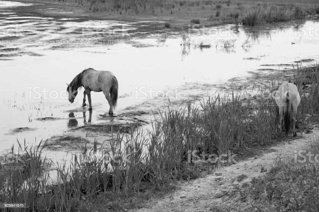 European Wild Horses In Black And White Stock Photo Download Image Now Istock