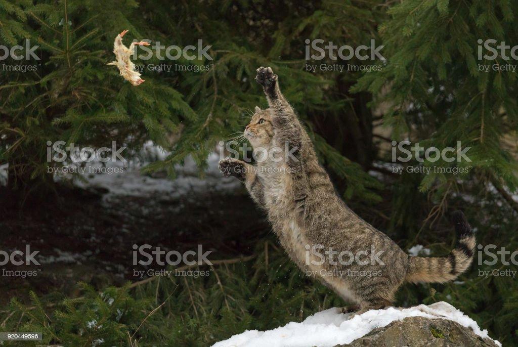 European wildcat (Felis silvestris) in winter stock photo