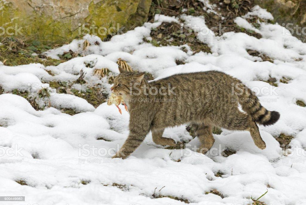 European wildcat (Felis silvestris) in winter with prey stock photo