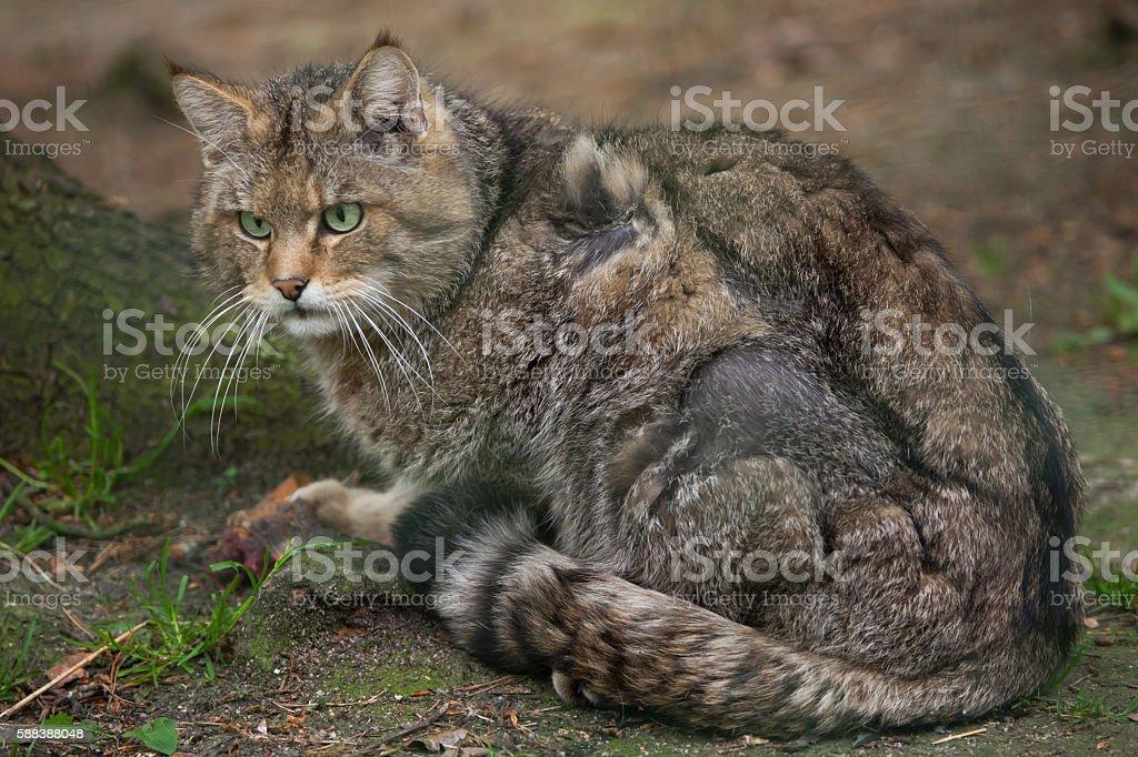 European wildcat (Felis silvestris silvestris). stock photo
