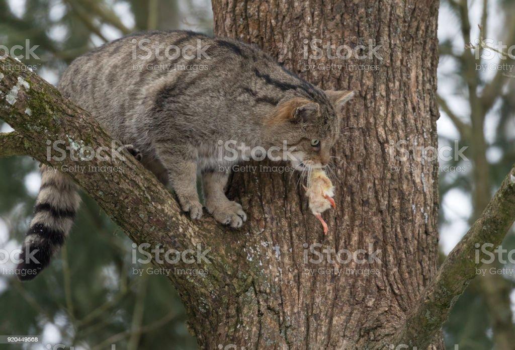 European wildcat (Felis silvestris) sitting on a tree stock photo
