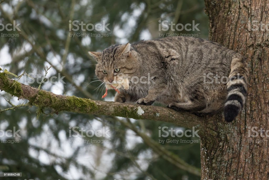 European wildcat (Felis silvestris) standing on a tree stock photo