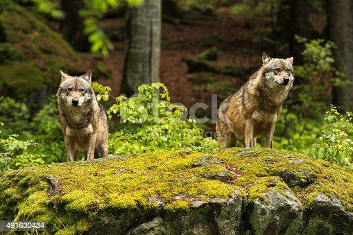 istock European wolf, Europaeischer Wolf, Canis lupus, wolf 491630434