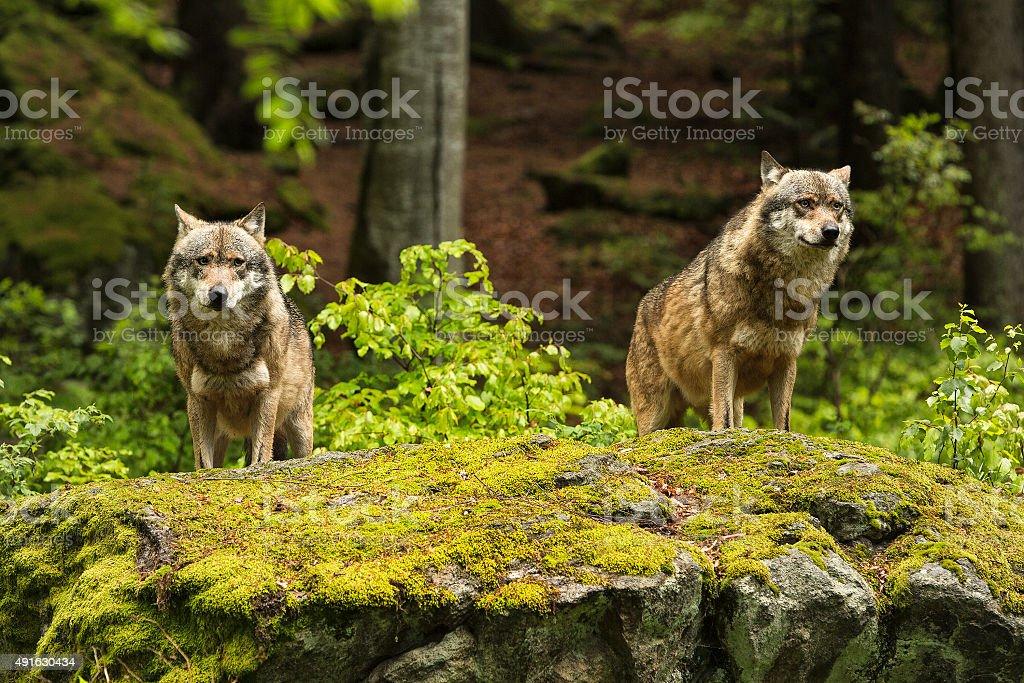European wolf, Europaeischer Wolf, Canis lupus, wolf stock photo