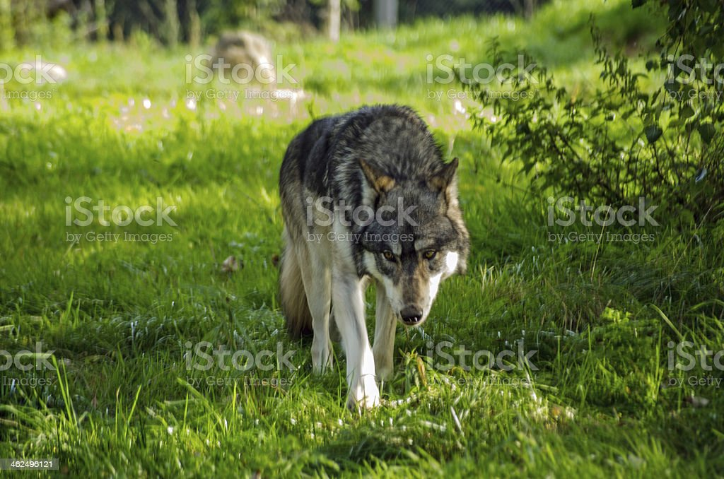 European Wolf prowling stock photo
