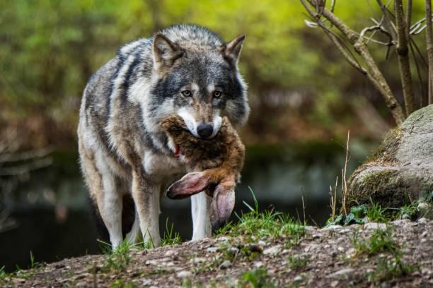 europeiska varg med en kanin i munnen - rovdjur bildbanksfoton och bilder