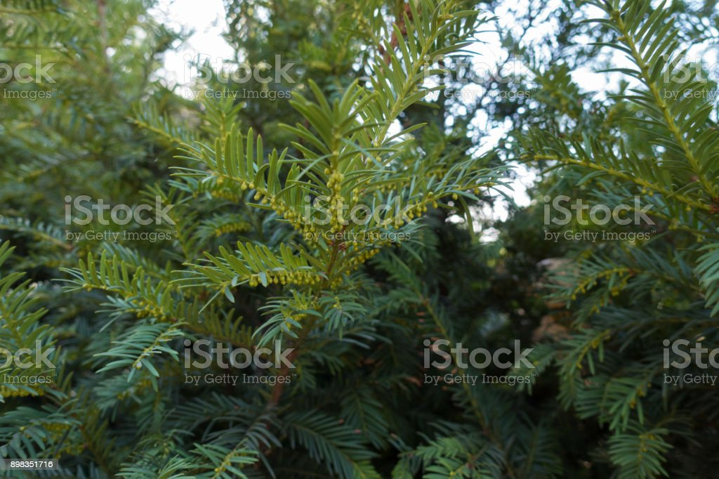European yew shoot with immature male cones stock photo