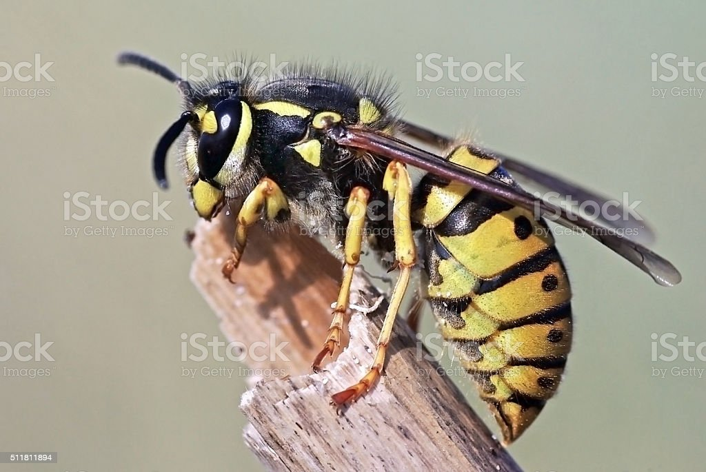 Avispa Europesn Vespula germanica - foto de stock