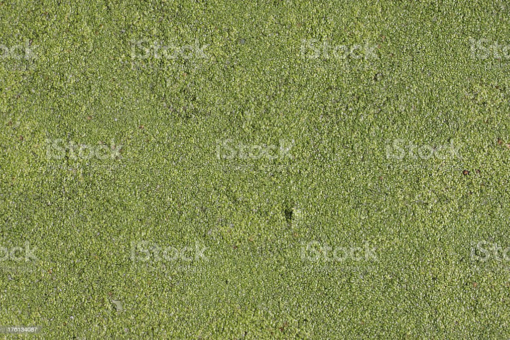 Eutrophy tiny leaves make natural green background royalty-free stock photo