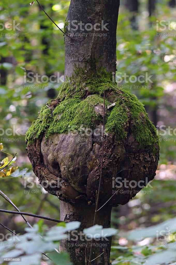 Eutypella canker der Platane maple (Acer pseudoplatanus) – Foto