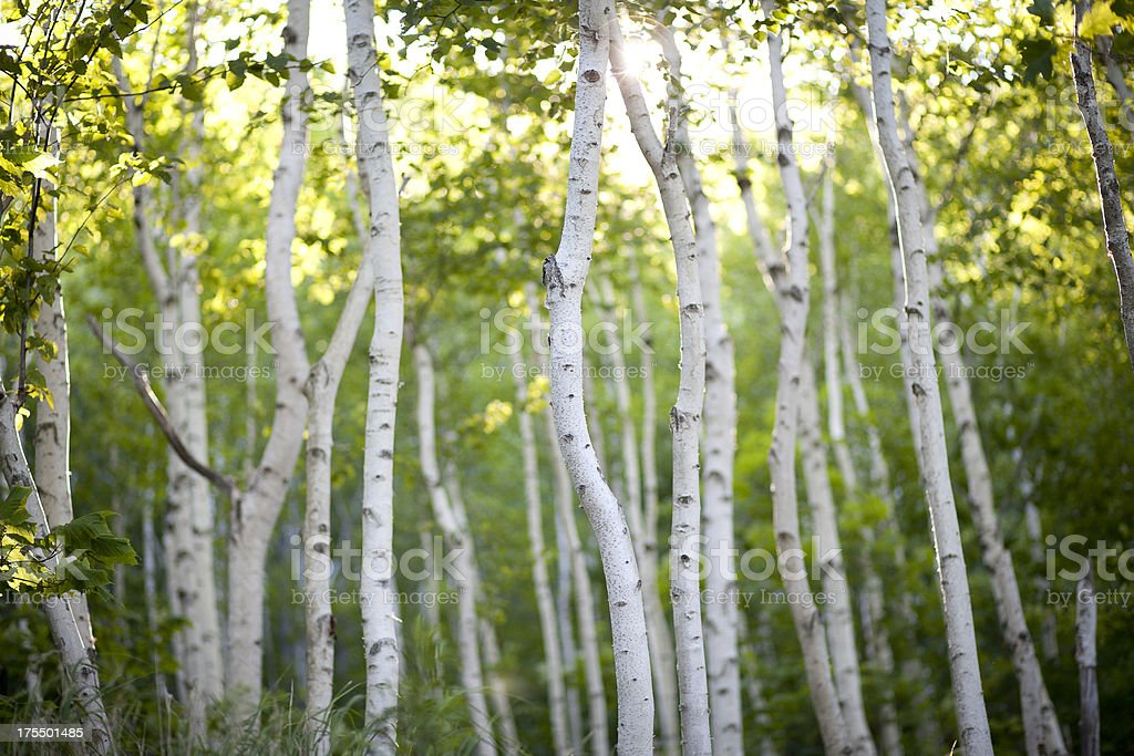 Evening Birch Trees stock photo