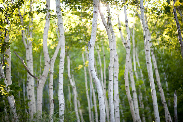 Evening Birch Trees stock photo