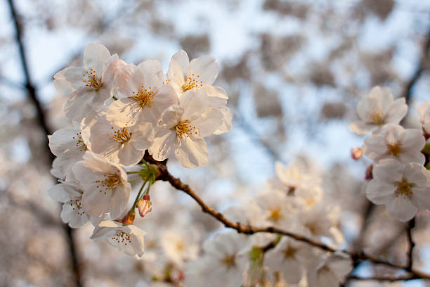 Evening Cherry Blossoms stock photo