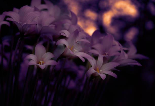 Evening Glow of Pink Rain Lilies
