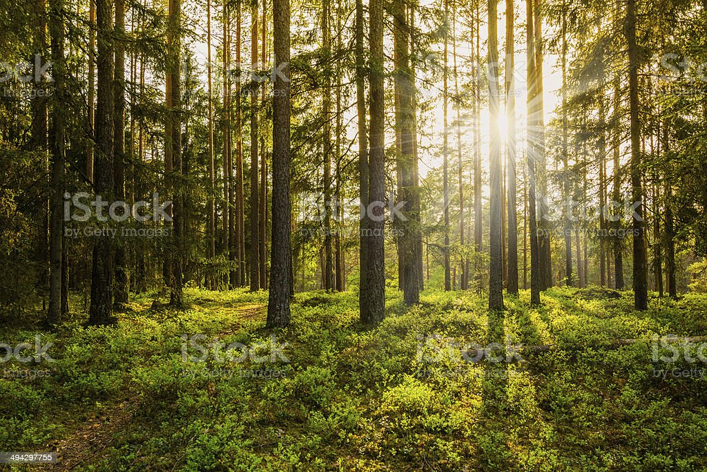 Evening in the Forest stock photo
