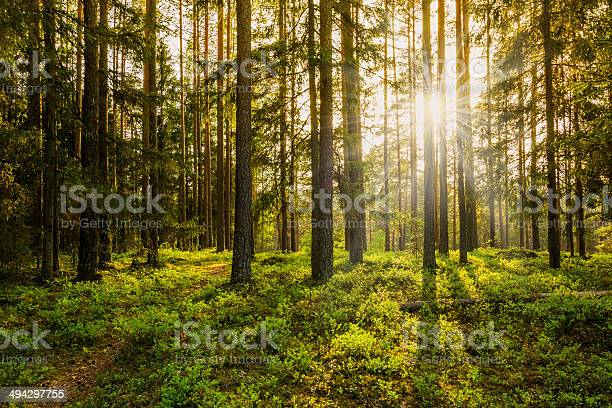 Photo of Evening in the Forest