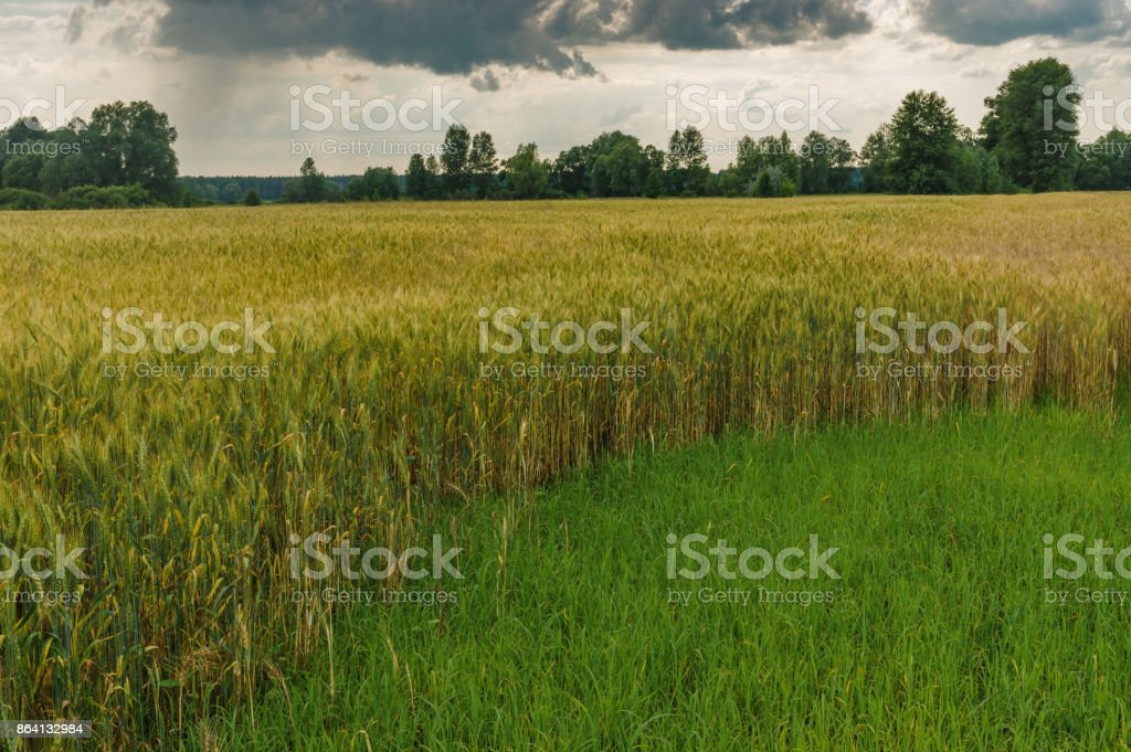 Evening landscape with dramatic sky and wheat field at summer season in central Ukraine royalty-free stock photo