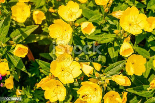 istock Evening primrose flower 1200198851