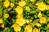 Yellow flowers of Oenothera also known as evening primrose, suncups and sundrops.