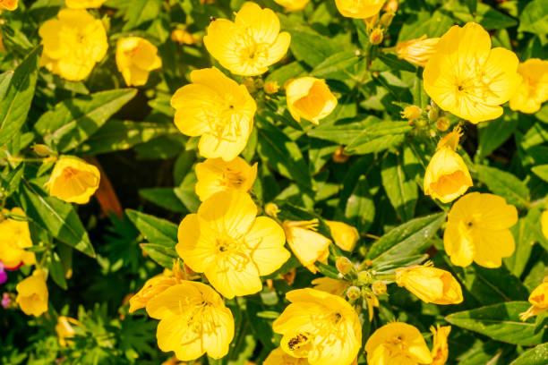 Nachtkerzenblume – Foto
