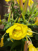 Brand new evening primrose flower just opening up. Taken under he sunshine during July in England.