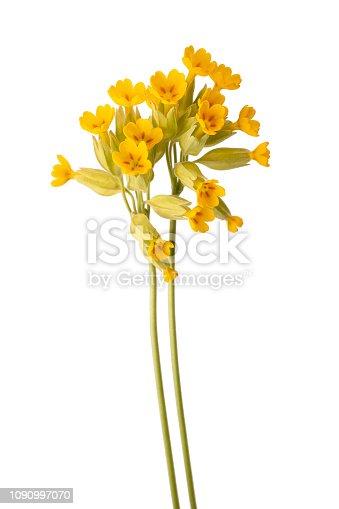 evening primrose flowers isolated on white