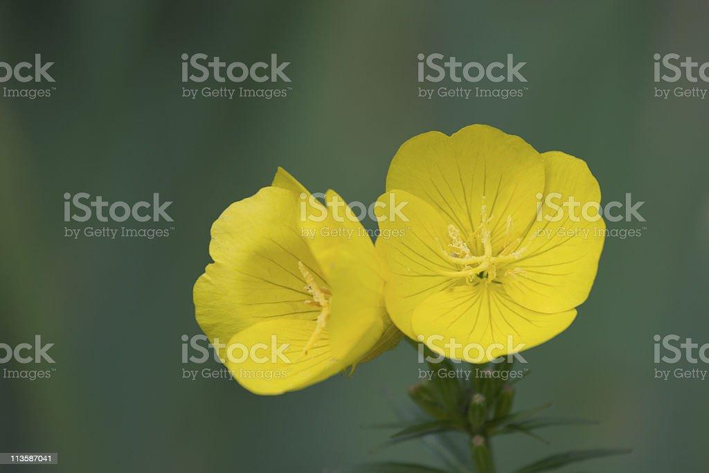 Evening primrose stock photo