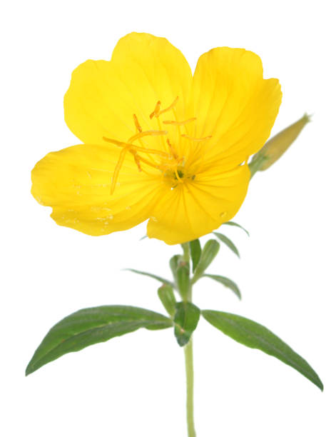evening primrose yellow evening primrose isolated on white primula stock pictures, royalty-free photos & images