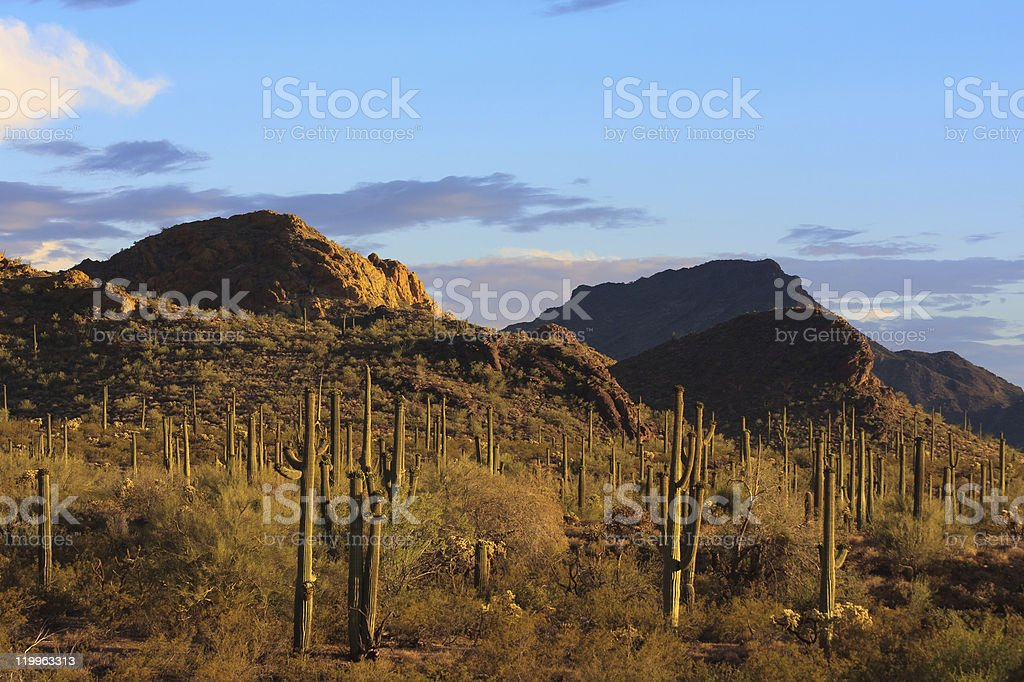 Evening Saguaros royalty-free stock photo
