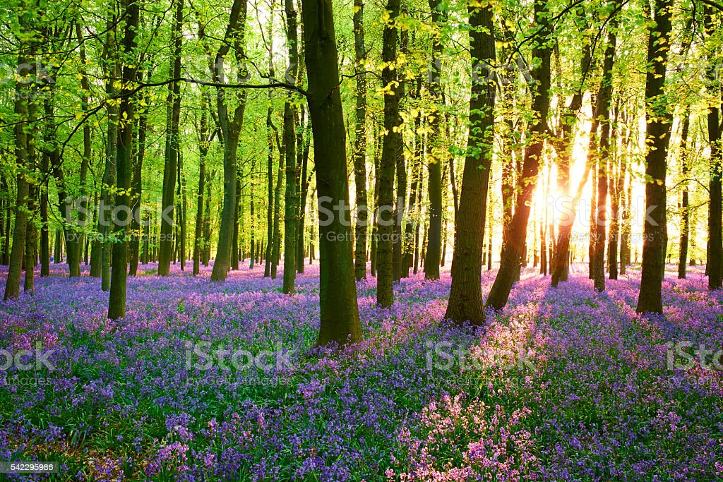 Evening Sun In The Bluebell Wood stock photo