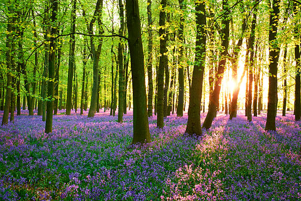 Evening Sun In The Bluebell Wood Springtime in the English Countryside, and evening sunshine falls on a carpet of bluebells in a wood.  buckinghamshire stock pictures, royalty-free photos & images