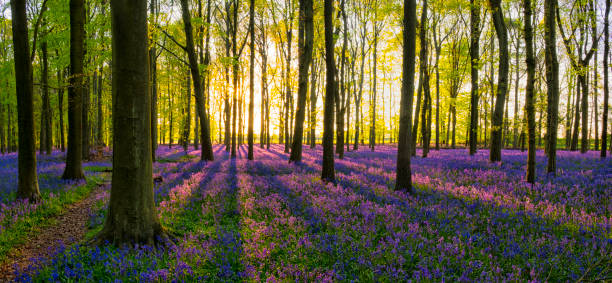 Evening Sun In The Bluebell Wood Evening Sun In The Bluebell Wood buckinghamshire stock pictures, royalty-free photos & images
