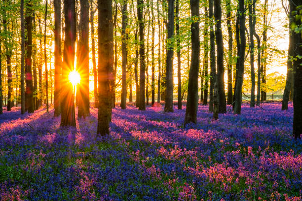 Evening Sun In The Bluebell Wood Evening Sun In The Bluebell Wood bluebell stock pictures, royalty-free photos & images