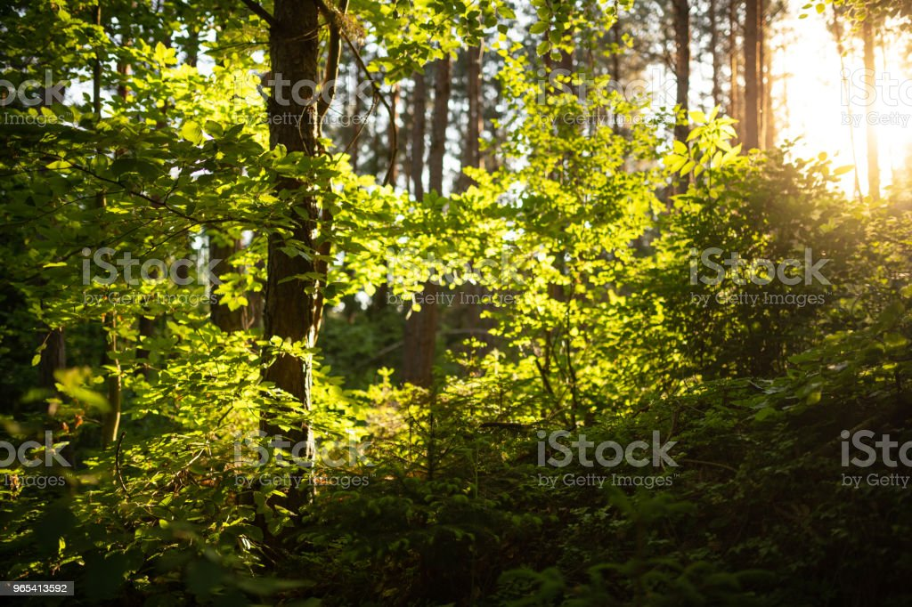 Evening sun in the deciduous forest, Germany royalty-free stock photo