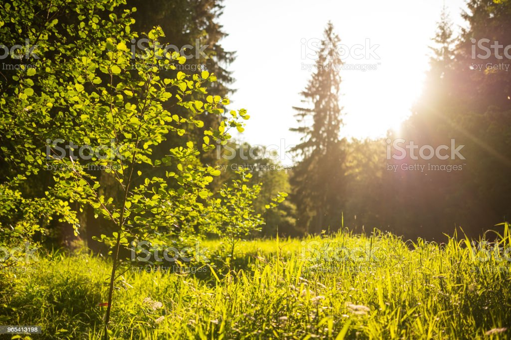Evening sun on a clearing in the deciduous forest, Germany zbiór zdjęć royalty-free