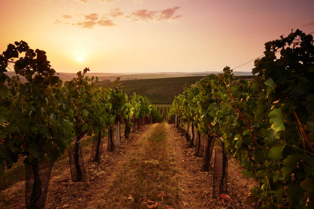 Evening view of the vineyards Evening view of the vineyards at sunset moravia stock pictures, royalty-free photos & images
