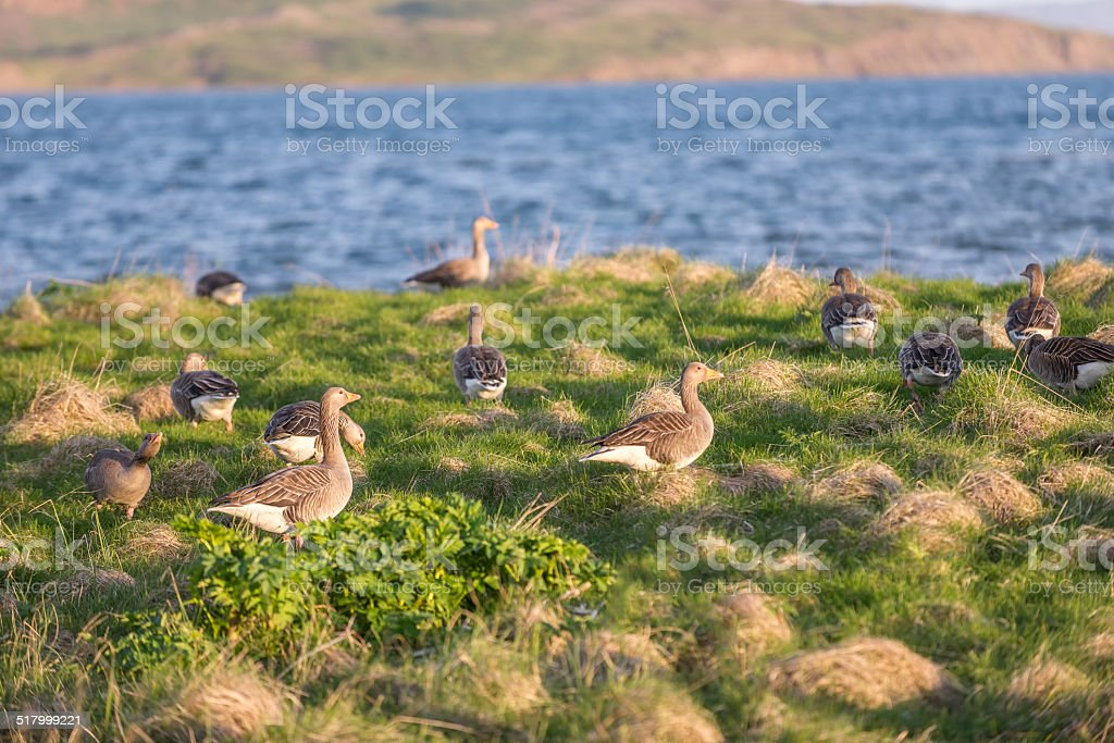 Evening view of wild geese. stock photo