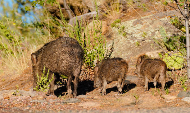 evening walk with mom - version 2 - javelina stock pictures, royalty-free photos & images