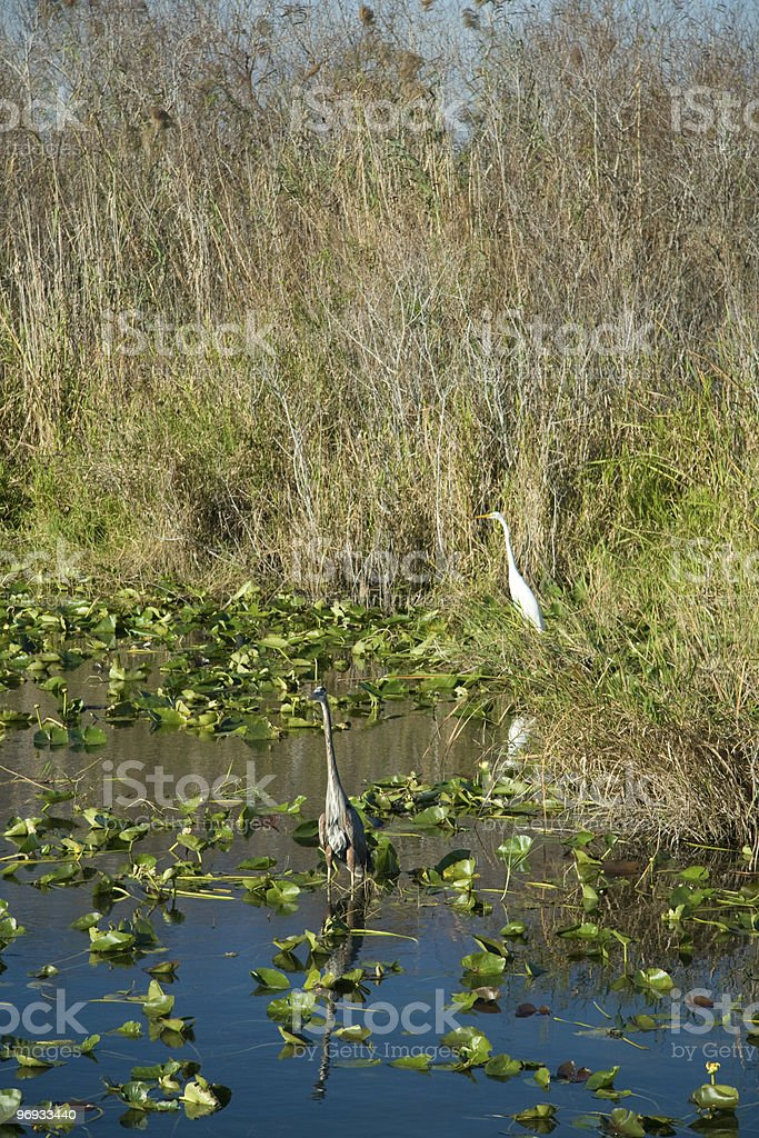 Everglades royalty-free stock photo