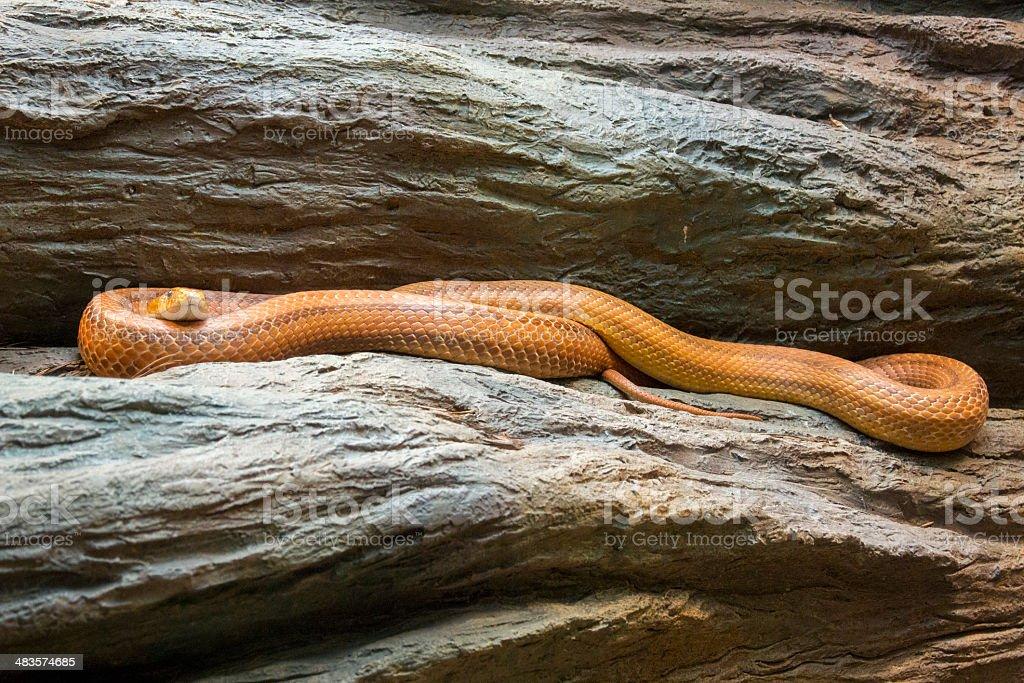 Everglades rat snake  Pantheropis obsoletus stock photo