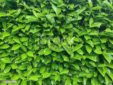 Background of a bay  laurel  hedge in springtime.
