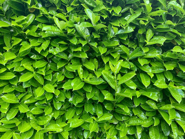 evergreen bay tree hedge - alloro foto e immagini stock