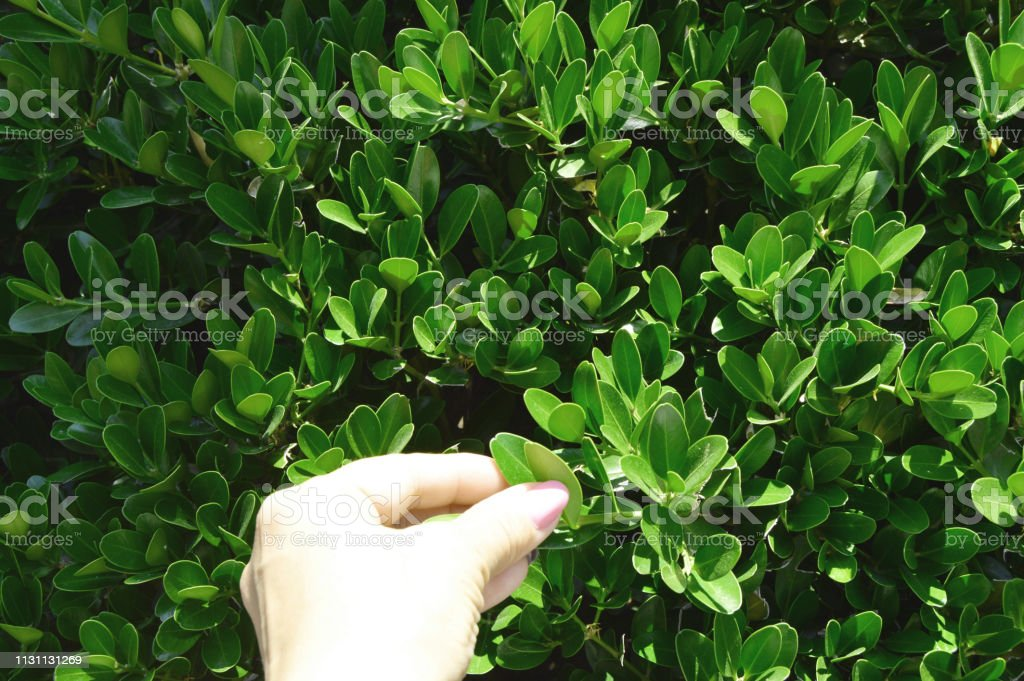 Evergreen boxwood Bush and the female hand of the gardener, checking...