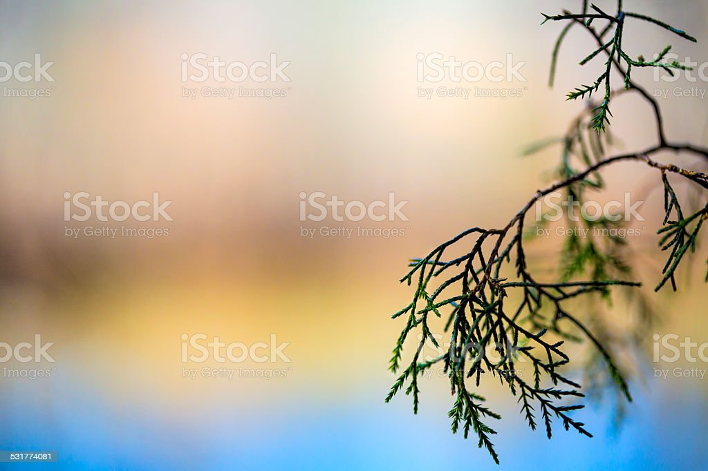 Evergreen Branch Abstracted stock photo