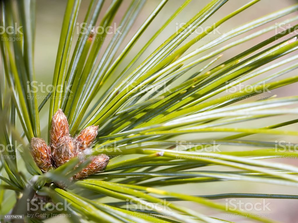 Evergreen Buds royalty-free stock photo