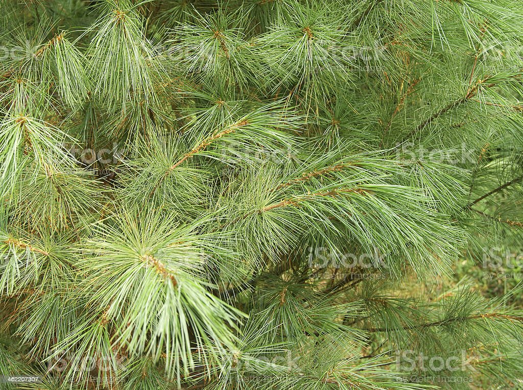Evergreen Cedar Close-Up stock photo