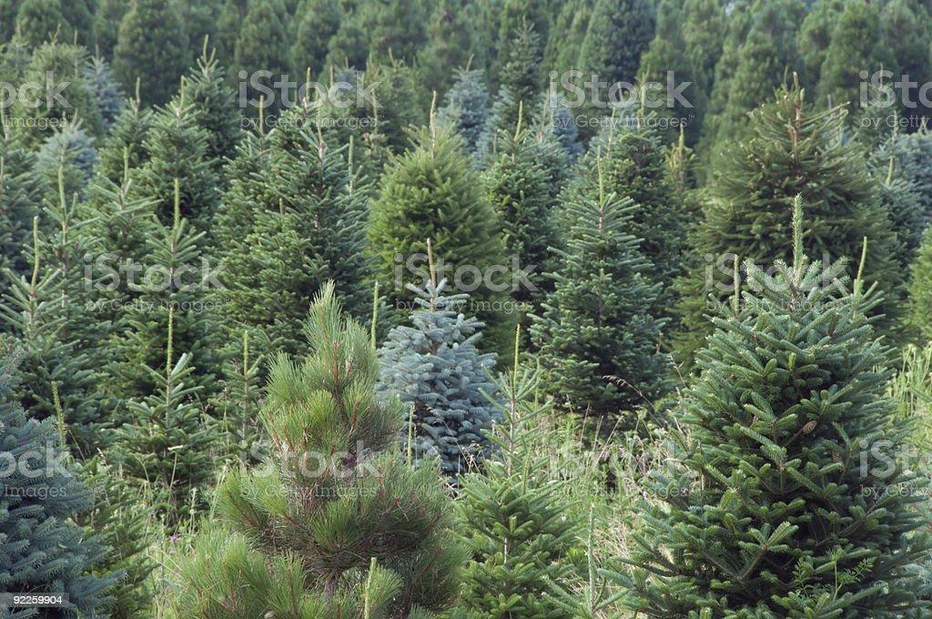 Evergreen farm in July royalty-free stock photo