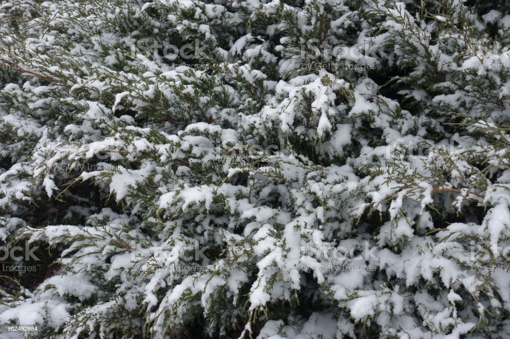 Evergreen foliage of savin juniper covered with snow in winter - Royalty-free Backgrounds Stock Photo