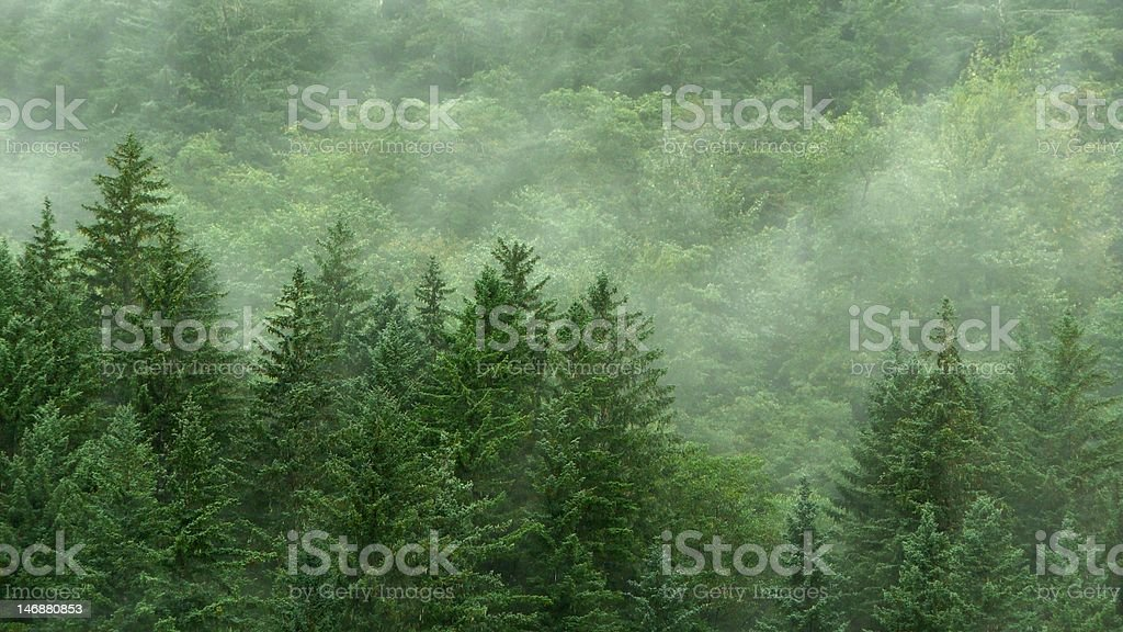 Evergreen Forest in Mist Background stock photo