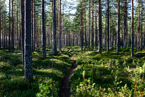 Evergreen forest in Northern Finland.